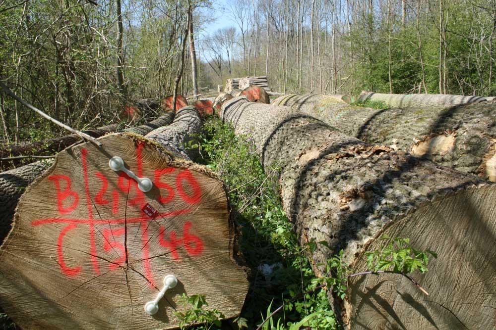 Holzeinschlag in der Burgaue 2019. Foto: Ralf Julke
