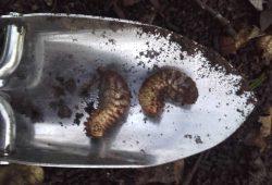 Geschützte Käferlarven aus den Baumfällungen bei Gundorf. Foto: NuKLA e.V.