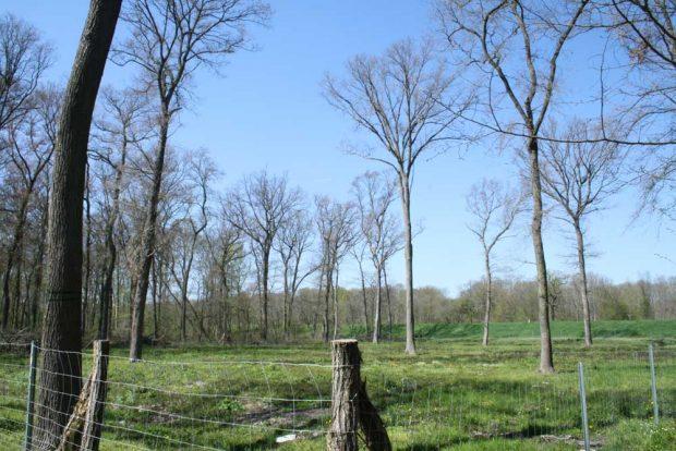 Ausgeforsteter Wald in der Luppeaue: Die wenigen alten Starkbäume spenden kaumnoch Schatten und die in Reih und Glied gepflanzten Setzlinge stehen mitten in der prallen Sonne. Foto: Ralf Julke