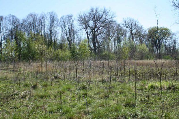 Bäumchen-Plantage im Gebiet der Alten Luppe. Foto: Ralf Julke
