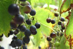 Hobbymäßiger Weinanbau am Störmthaler See ist erlaubt. Foto: Ralf Julke