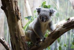 Der Australier Moose im Leipziger Koala-Haus © Zoo Leipzig