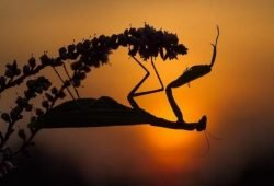 Die Gottesanbeterin (Mantis religiosa). Foto: Sandra Malz/naturgucker.de