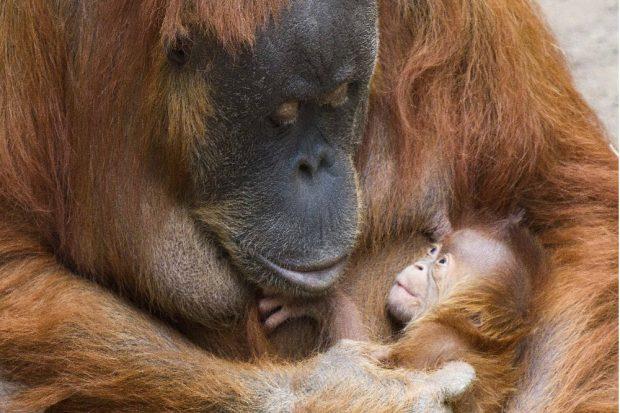 Pini mit ihrer Tochter © Zoo Leipzig