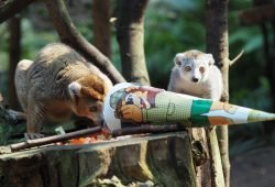 Schulanfang bei den Kronenmakis © Zoo Leipzig