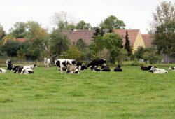 Dorfleben mit Kühen. Foto: Matthias Weidemann