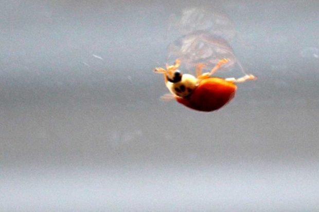 Einsam wie ein Marienkäfer ... Foto: Ralf Julke