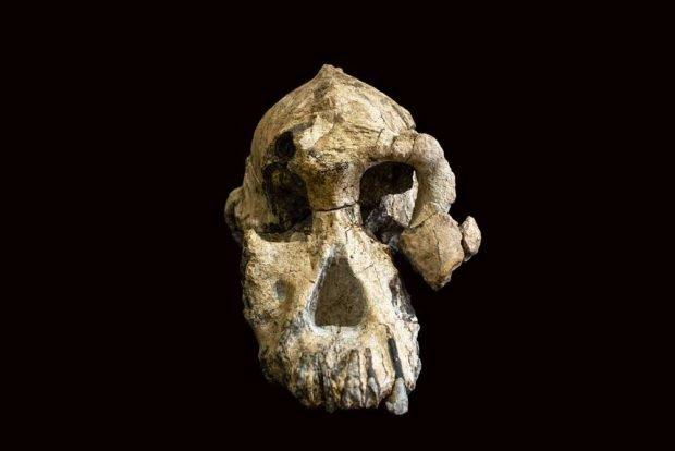 Der 3,8 Millionen Jahre alte fossile Schädel eines Australopithecus anamensis ist erstaunlich gut erhalten. Foto: Dale Omori, Cleveland Museum of Natural History