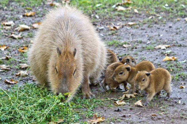 Capybara-Jungtiere mit Mutter © Zoo Leipzig