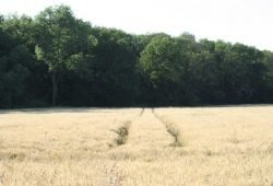 Feld in der Leipziger Aue. Foto: Ralf Julke