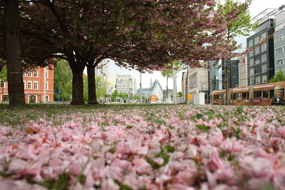 Kirschblüten auf dem Johannisplatz. Foto: Ralf Julke
