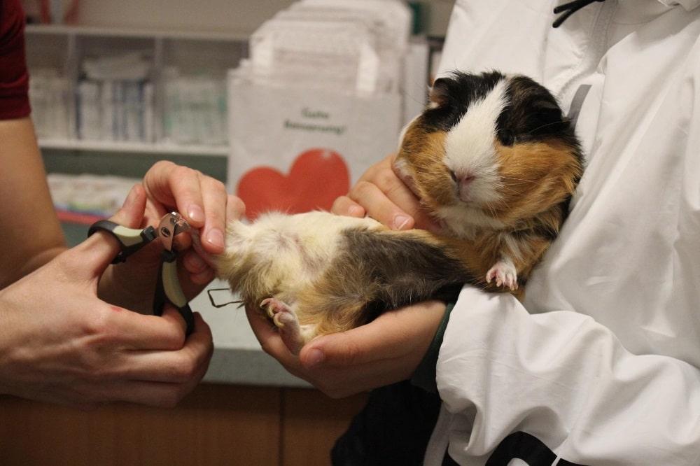 Meerschweinchens Bonny bei der Pediküre. Quelle: Tierarztpraxis an der Elster