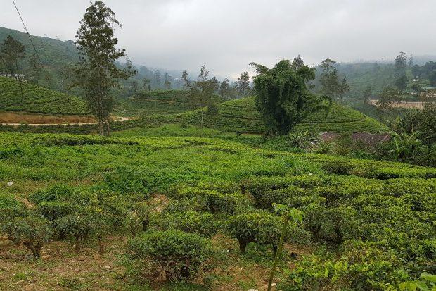 Teeplantagen soweit das Auge reicht © Sascha Bethe