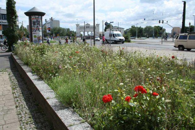 Rosenbeet an der Windmühlenstraße. Foto: Ralf Julke