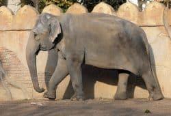 Elefantenkuh Thura auf der Außenanlage © Zoo Leipzig