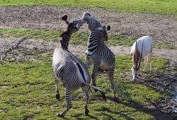 Grevy-Zebras toben ausgelassen auf der Savanne © Zoo Leipzig