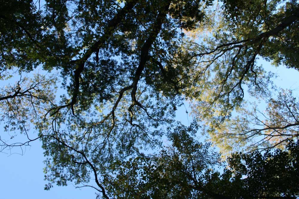 Baumkronen im Leipziger Auenwald. Foto: Ralf Julke