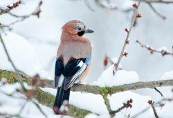"""Vermutlich aufgrund einer Eichelvollmast in Nordosteuropa im vergangenen Jahr könnten bei der """"Stunde der Wintervögel"""" vom 10. bis 12. Januar 2020 besonders viele Eichelhäher gezählt werden. Foto: Bärbel Franzke"""