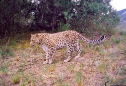 Kaukasicher Leopard. Foto: Biosphere Expeditions