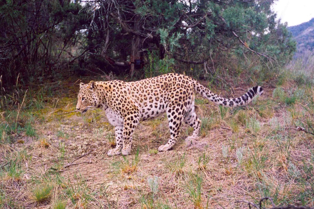 Kaukasicher Leopard. Foto: Biosphere Expeditions