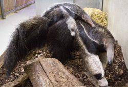 Weihnachtsgeschenk für Ameisenbären-Jungtier - ein Name © Zoo Leipzig