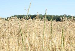 Wie kommt man wieder zu einer Landwirtschaft ohne Glyphosat? Foto: Ralf Julke