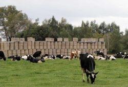 Kühe auf der Weide. Foto: Matthias Weidemann