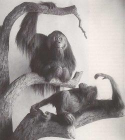 Orang-Utan-Gruppe von Hermann H. ter Meer. Foto: Naturkundemuseum Leipzig