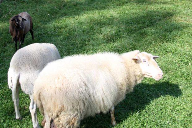 Eigentlich sehr beruhigend: Schafe vorm Fenster. Foto: Matthias Weidemann