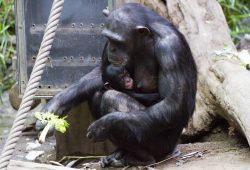 Schimpansenweibchen Kisha mit Jungtier, Foto: Zoo-Leipzig