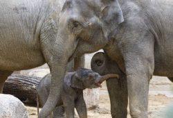 Rani mit ihrem Jungtier © Zoo Leipzig