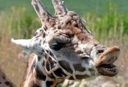 Giraffenbulle Max © Zoo Leipzig