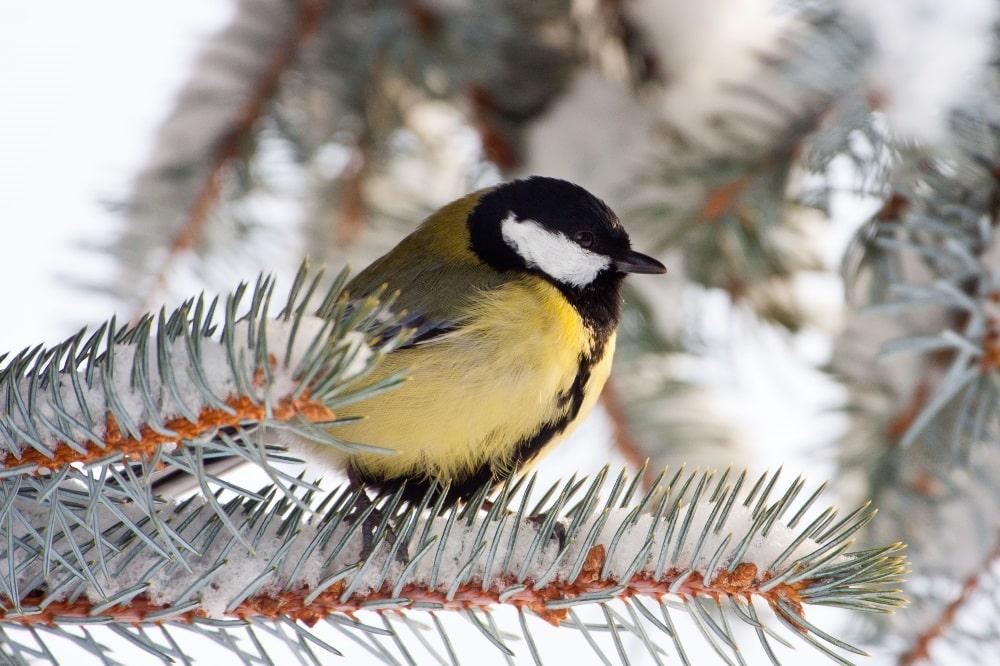 """Zweitplatzierte im vergangenen Jahr: Bei der """"Stunde der Wintervögel"""" 2019 wurde die Kohlmeise in Sachsen in 90 Prozent aller gemeldeten Gärten und Parks im Durchschnitt sechsmal gezählt. Foto: Bärbel Franzke"""