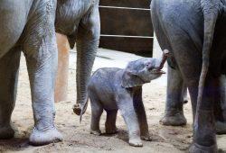 Ranis Jungtier zwischen Rani und Don Chung. © Zoo Leipzig