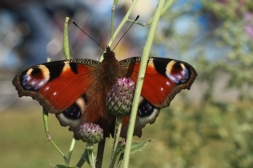 Tagpfauenauge (Aglais io). Bild: Guy Pe'er