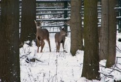 Weisswedelwild. Quelle: Wildpark e. V.