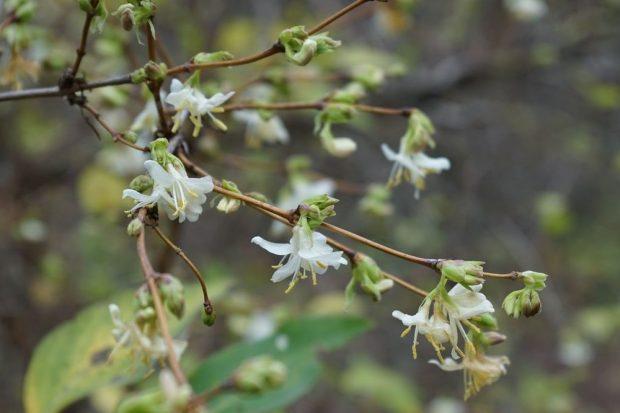 Die Winter-Heckenkirsche, die gerade im Botanischen Garten in voller Blüte steht, wird zutreffend auch Duft-Heckenkirsche genannt, denn auffälliger als die Blütenfarbe ist der über einige Meter hinweg wahrnehmbare, süßliche Duft. Foto: Botanischer Garten