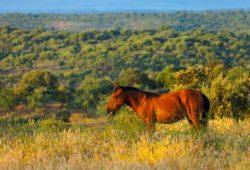 Die natürliche Beweidung als ökologischer Prozess hilft unzähligen Arten in halboffenen Landschaften und unterstützt die Schaffung natürlicher Waldlandschaften, die weniger anfällig sind für Brände. Foto: Juan Carolos Muñoz Robredo / Rewilding Europe
