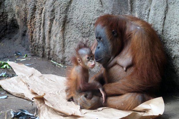 Orangweibchen Pini mit Tochter Rima © Zoo Leipzig