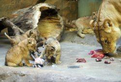 Kigalis Löwennachwuchs in der Schauanlage. © Zoo Leipzig