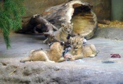 Löwenjungtiere auf Wanderschaft in der Schauhöhle © Zoo Leipzig