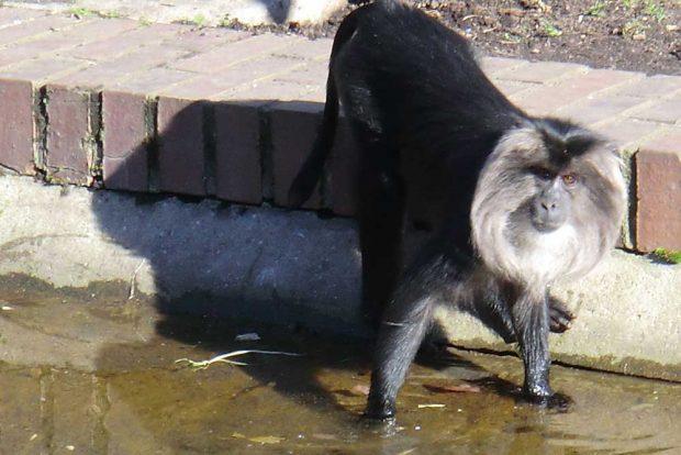 Von Menschen-Männchen oft beneidet: Bartaffe im Leipziger Zoo. Foto: Marko Hofmann
