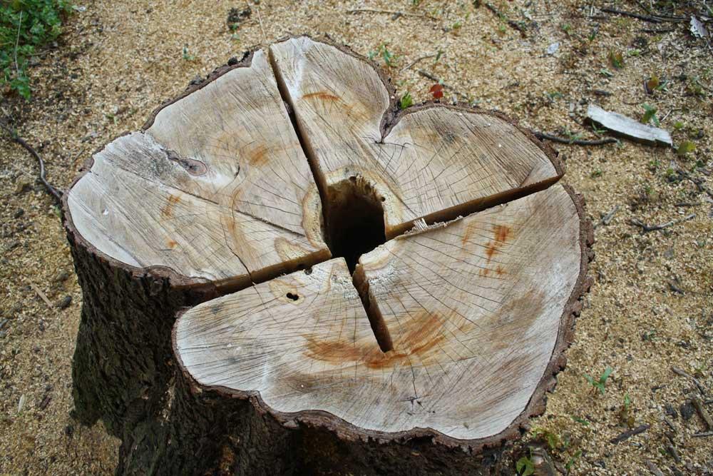 Gefällter Baum. Foto: Ralf Julke