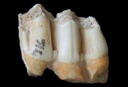 Fossile Zähne eines Leierhirsches (Rucervus eldii) aus der Fossiliensammlung der Höhle von Tam Ham Marklot. Foto: Nicolas Bourgon