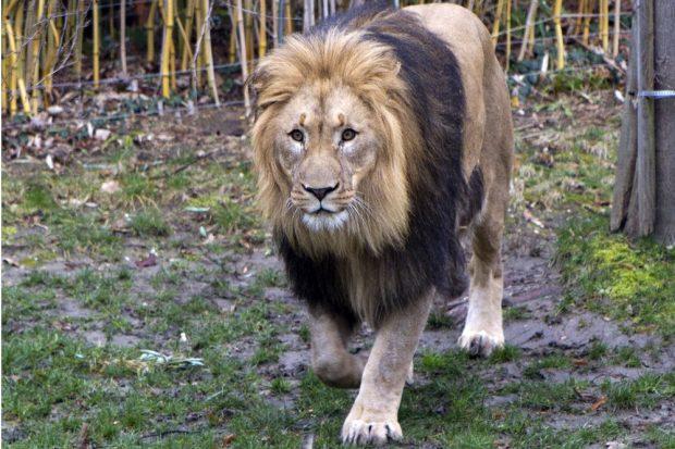 Löwe Majo ist gefordert © Zoo Leipzig