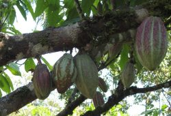 85 Prozent des Kakaos, den Deutschland importiert, stammen aus nur fünf Ländern überwiegend Westafrikas. Dessen Produktion verursacht dort z.T. erhebliche Auswirkungen auf die biologische Vielfalt. Bild: Janina Kleemann