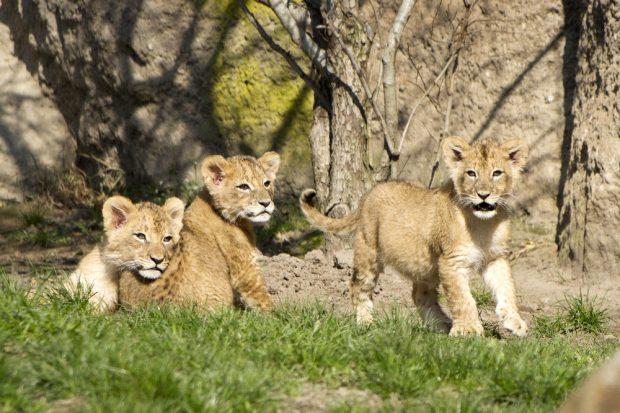 Die drei Jungtiere gemeinsam auf der Außenanlage © Zoo Leipzig