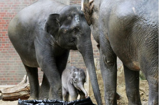 Elefantenkalb mit Mutter Rani und Don Chung © Zoo Leipzig