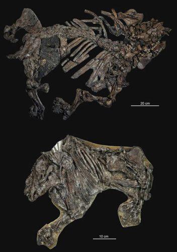 Außergewöhnlich gut erhaltene Skelette des frühen Tapirs Lophiodon (oben) und des Urpferdchens Propalaeotherium (unten) aus dem Mittleren Eozän der Fundstätte Geiseltal (Sachsen-Anhalt). Foto: Oliver Wings/MLU