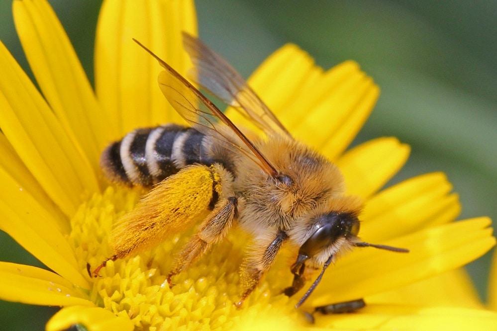 Hosenbienen sind relativ groß. Die Weibchen haben eine deutliche Haarbürste an den Hinterbeinen. Foto: NABU/Hans-Jürgen SessnerHosenbiene - dasypoda hirtipes, Foto: NABU